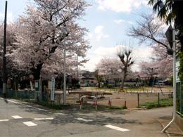 八千代台第2公園:当店の目の前には見事な桜に囲まれた公園もあります